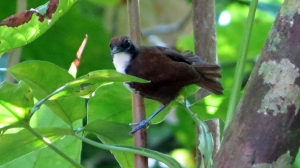 Bi-Colored Antbird
