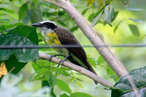 Boat Billed Flycatcher