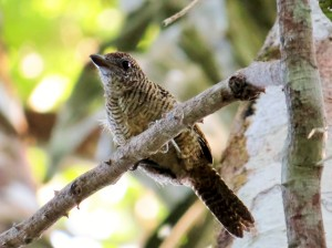 Fasciated Antshrike - Female