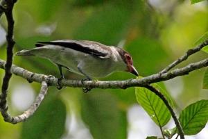 Masked Tityra - Female