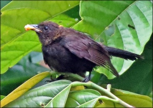 Female Tawny Headed Tanager