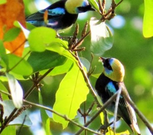 Golden Headed Tanagers
