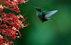 Rufous Tailed Hummingbird