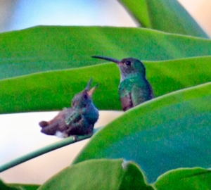 Rufous Tailed Hummingbird - mom feeding baby