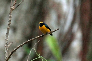 Yellow Crowned Euphonia - Male