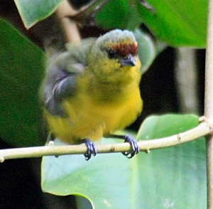 Olive Backed Euphonia Male