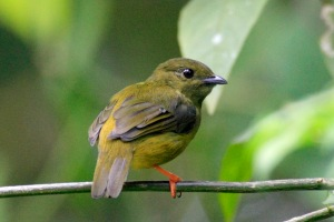 White Collared Manakin - Female