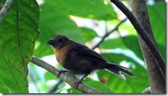Red Throated Ant Tanager - Female