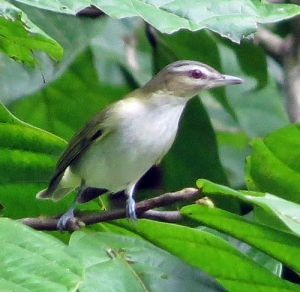 Vireo of some kind