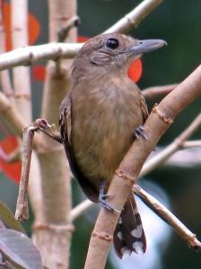 Western Slaty Antshrike Female
