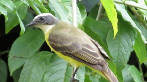 White Ringed Flycatcher