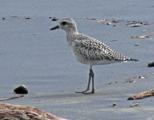 Black-bellied Plover nonbreeding