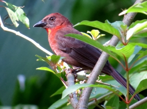 Red Throated Ant Tanager - Male