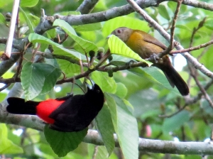Passerini's Tanager - Male and Female