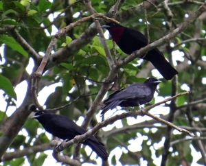 Group of Purple Throated Fruitcrows
