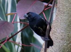 Variable Seedeater -Male