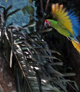 Great Green Macaw in flight