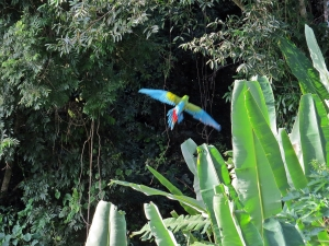 Great Green Macaw flying