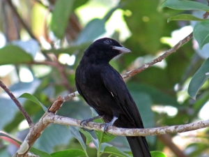 Purple throated Fruitcrow - female