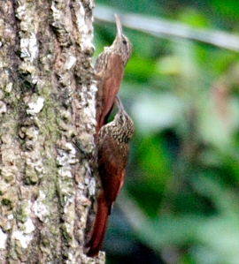 Streak headed woodcreeper